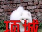 项城本地狗场,出售银狐犬,包纯种健康,可签协议
