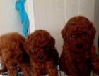 家养漂亮玩具红色泰迪种公低价对外借配 价格面议