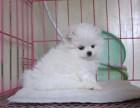 正规犬舍 出售高品质博美犬 拒绝病狗