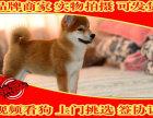 纯日系柴犬 双血统后代 赛级品质 签合同保品质