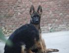 纯那种双血统德国牧羊犬健康保障60天 送货上门