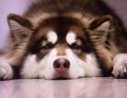巨型阿拉斯加雪橇犬 多款颜色阿拉 桃脸十字脸均