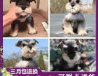 重庆高品质的赛级雪纳瑞幼犬出售了 疫苗做完 质量三包