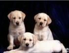 纯种血统奶油色拉布拉多犬幼犬宠物狗活体出售赛级拉布拉多巡回犬
