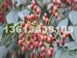 大量出售大红袍花椒苗