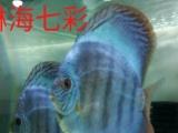 琳海七彩神仙观赏鱼养殖场