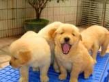 纯种拉布拉多幼犬活体拉布拉多护卫犬警犬巡回导盲犬狗