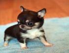 哪里有卖吉娃娃犬吉娃娃犬多少钱 支持全国发货