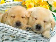纯种养殖金毛犬 保健康 量多优惠