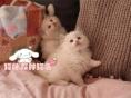 纯种布偶猫出售 疫苗做齐 终身质保签协议