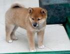 日系柴犬 白脸体正包纯血统,包健康,包送货!