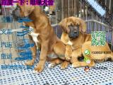 哪一家宠物店卖纯种健康的大丹犬多少钱一只