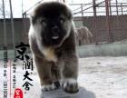 丽江哪里有高加索犬的