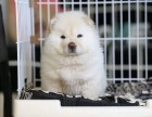 温州市哪里卖松狮犬 温州市白色松狮多少钱 温州市黑色松狮价格