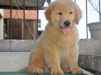 出售纯种金毛幼犬 品质好 公母都有
