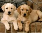 三四个月纯种阿拉斯加犬幼崽多少钱一只