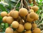广州增城新塘龙眼果园采摘活动-仙村龙眼水果