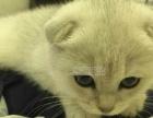 《折耳猫》宠物猫折耳猫幼猫纯种苏格兰折耳猫 折耳猫