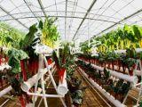 和丰温室工程专业供应立体栽培-无土栽培蔬菜