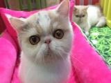完美银渐层短毛猫,纯种CFA加菲猫宝宝找粑粑妈妈啦