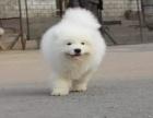萨摩耶犬 基地直销 保纯种健康 可送上门 可实地挑