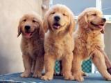 南京出售 金毛幼犬 保证纯种健康签订活体协议包退换