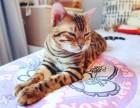 猫舍繁殖孟加拉豹猫活体 豹猫好养活吗 豹猫多少钱一只
