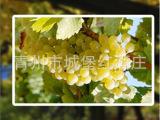 歌伦巴法国干白 葡萄酒 青州城堡红酒庄 法国红酒 专业 外贸出口