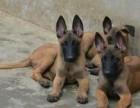 大小马犬出售保证纯种保证健康