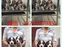南昌自提出售世界各类名犬 支持上门看狗加微信有折扣