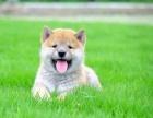 邢台哪里卖柴犬 邢台哪里有纯种柴犬卖 邢台日系柴犬价格