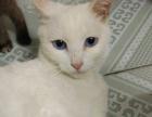 转让蓝眼白猫 ,母猫
