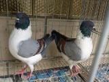观赏鸽,元宝鸽大体型的公斤鸽