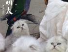 萌太家庭猫舍 特价金吉拉折耳2500妹妹