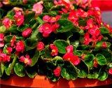 四季海棠批发价格_供应山东划算的四季海棠