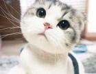 青岛哪里有苏格兰折耳 高地折耳猫卖 疫苗已做保健康