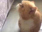 纯种加菲猫波斯猫配种