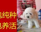 郑州哪里出售(比熊)保纯保健康疫苗驱虫均已做完