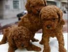 上海泰迪出售3个月幼犬预防已打驱虫已做保养活包健康