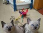 出售家养暹罗小奶猫 海豹重点色母猫蓝色重点色妹妹