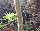 海南省五指山花梨树现已有九年多有想要的请联系