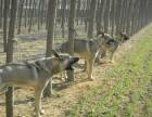 出售纯种狼青犬 狼青幼犬 质量好 健康保证