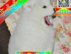 专业萨摩狗场——微信看狗 随时可送货上门种公配种