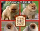 中山宠物狗出售 中山哪里有卖博美犬 中山博美犬价格多少