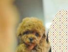 基地繁殖出售2-4个月纯种玩具体泰迪幼犬实物拍摄