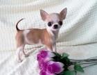 超小体型活泼可爱的吉娃娃幼犬 保证售后服务