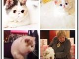 里有出售宠物加菲猫包纯种健康送货上门