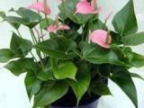 广州植物租赁广州花卉租赁植物出租绿植出租净化空气的植物