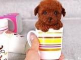 广州犬舍直销泰迪哈士奇拉布拉多萨摩博美等名犬,批发价出售