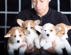 拉萨双色柯基犬价格 拉萨哪里卖健康的柯基 双色柯基价格
